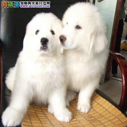 南京大白熊犬价格 南京大白熊犬图片 南京大白熊犬
