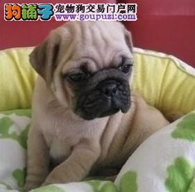 备受宠爱的巴哥犬出现肥胖症怎么办