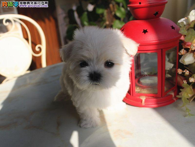 云南马尔济斯犬价格.云南出售马尔济斯犬小狗