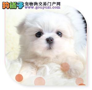 出售天津茶杯犬健康养殖疫苗齐全可以送货上门3