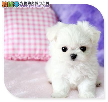 茶杯泰迪宝宝,贵宾犬出售自家繁殖保证纯种玩具