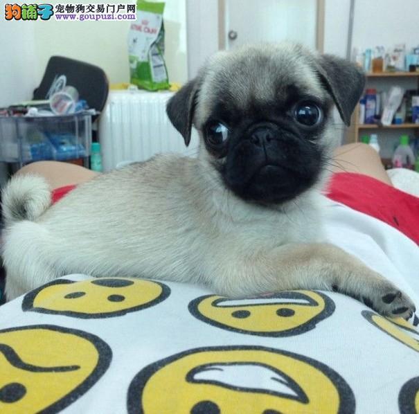 上海/上海纯种巴哥多少钱上海什么地方买到健康的巴哥犬