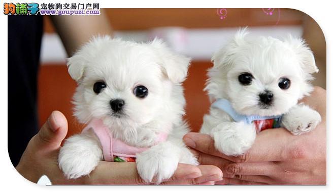 出售天津茶杯犬健康养殖疫苗齐全可以送货上门2