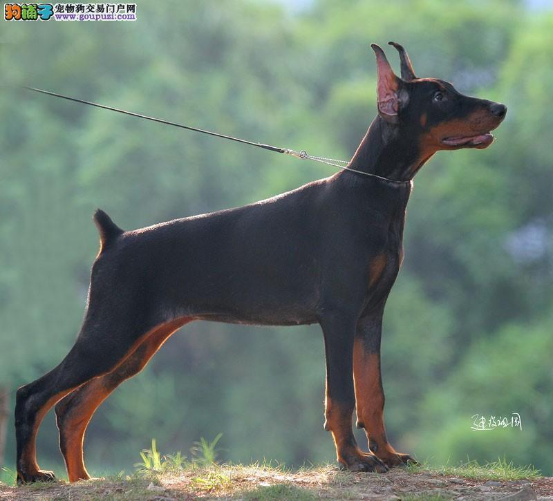 对杜宾犬起到最大作用的训练方法