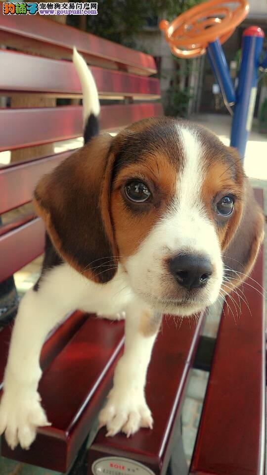 纯种赛级比格犬 公母均有颜色齐全 提供养狗指导