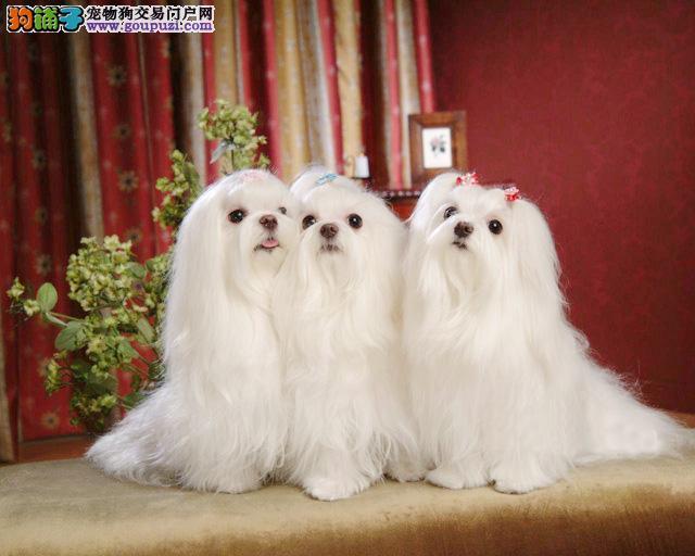 南充出售纯种马尔济斯犬签订正式合约 三年联保