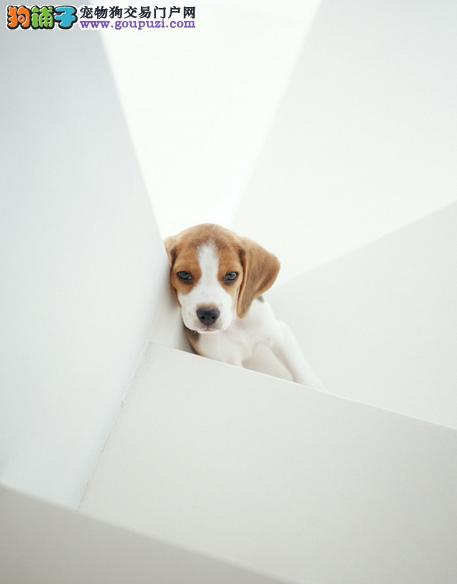 健康常识 三种问题导致比格犬出现口臭