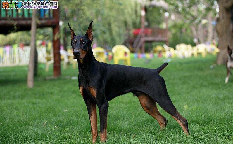 德国杜宾犬图片_