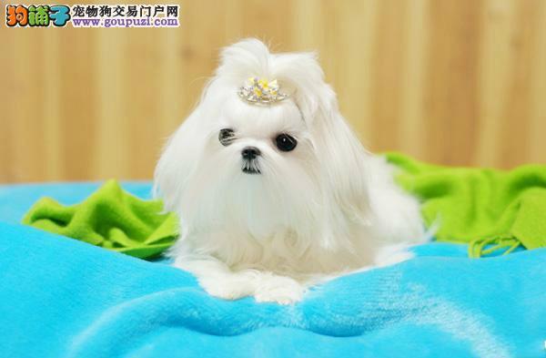 上海出售长相甜美 马尔济斯犬签订售后合同 欢迎咨询