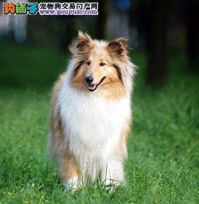 重庆哪里有卖苏牧的 犬舍出售纯种苏牧健康质保