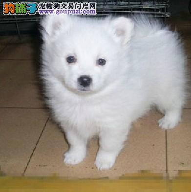 银狐犬多少钱一只 中小型犬银狐雪白色银狐犬价格
