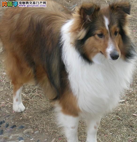 云南买狗的地方卖喜乐蒂犬云南宠物狗养殖基地