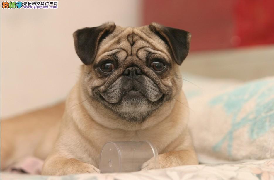 重庆/重庆什么地方有卖家养巴哥犬的纯种巴哥犬多少钱