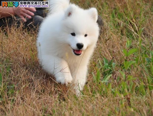 如何保证哺乳期萨摩耶母犬的身体健康