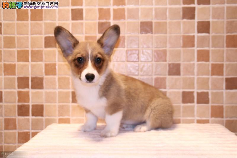 龙岩威尔士柯基犬 高品质家养犬柯基出售 多花色可选