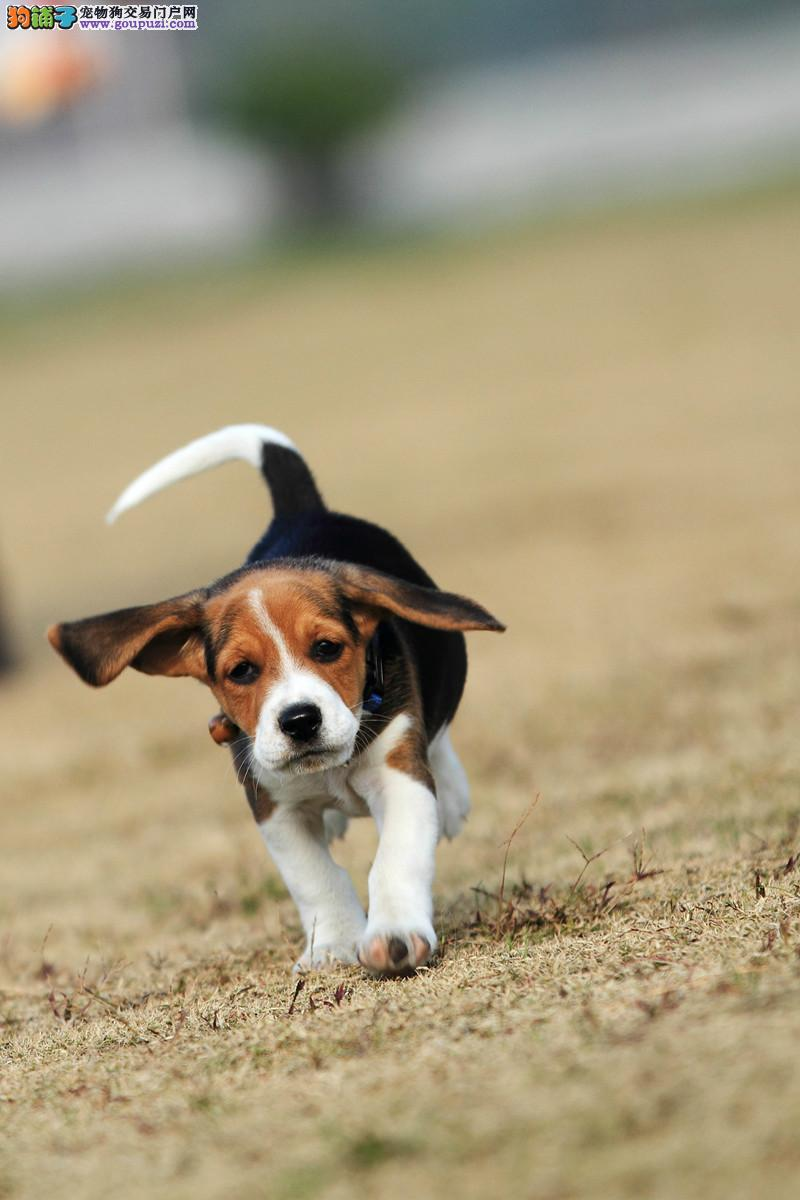 百分百健康纯种比格犬成都热卖中微信看狗真实照片包纯