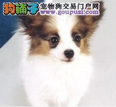 超小体蝴蝶犬宝宝出售 迷你蝴蝶犬 自家繁殖保证健康
