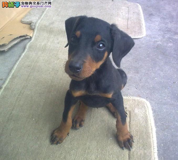 转让血统纯正的常州杜宾犬幼犬可签质保协议4
