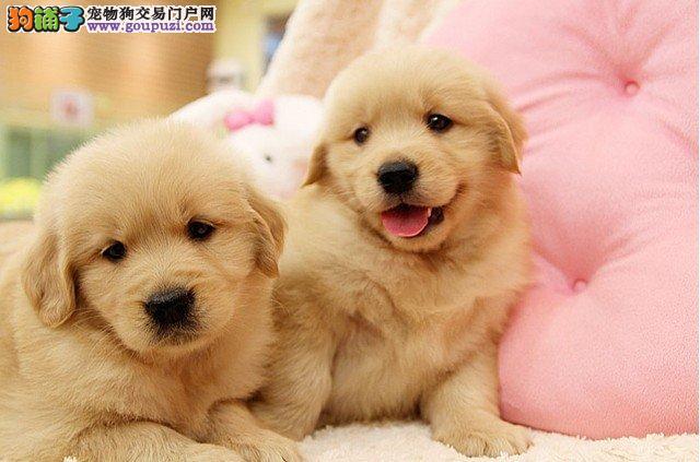 上海优秀工作犬纯种金毛宝宝签协议保证健康可挑选