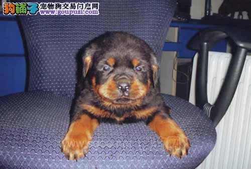 急售德系纯种罗威纳幼犬!3