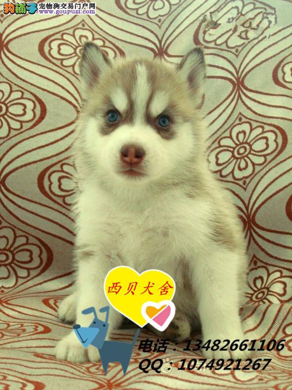 上海CKU犬舍 专业繁殖赛级哈士奇 签订协议
