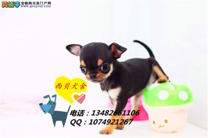 上海品牌犬舍 专业吉娃娃铁包金签保健康