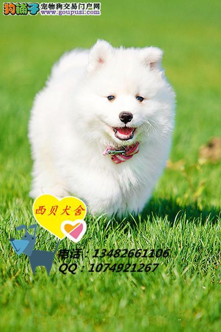 上海CKU犬舍 专业繁殖精品萨摩耶 签订协议保证健康