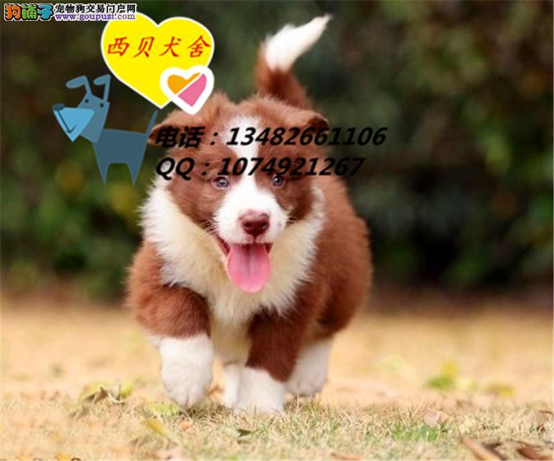 上海CKU犬舍 专业繁殖赛级边境品相到位 实图 签订协议