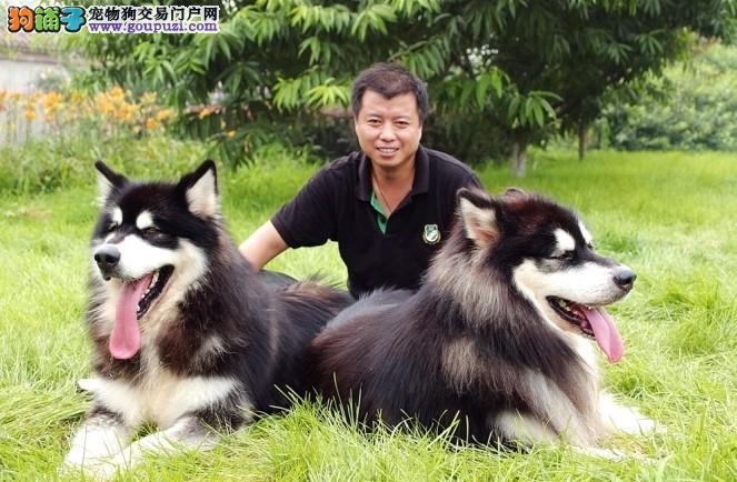 阿拉斯加犬巨型泰山血系阿拉斯加 非诚勿扰