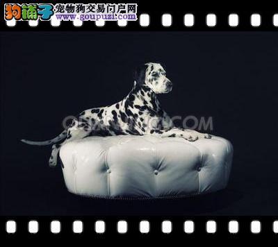 斑点狗幼犬出售 多只可选 纯种健康 包养活 饲养指导