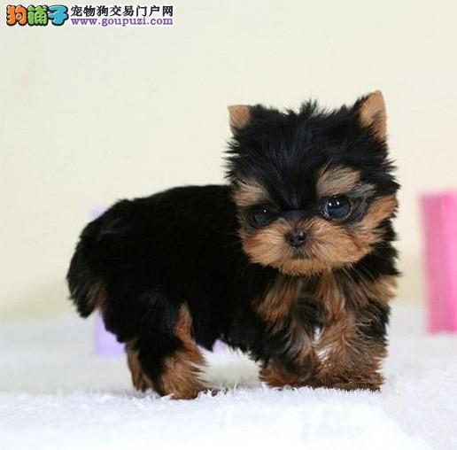 广州哪里有狗卖,广州哪里有卖约克夏,