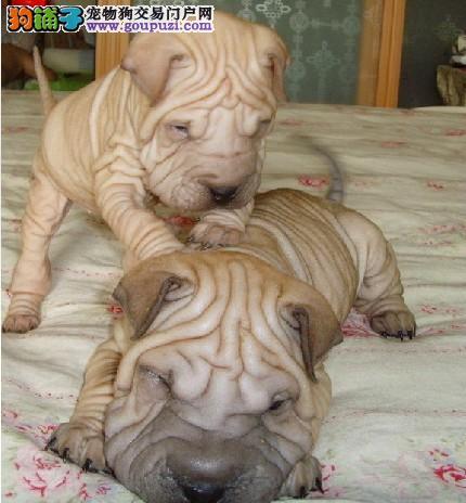 天津精品活泼可爱温顺憨厚满身褶子沙皮狗幼犬出售