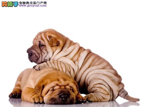 柳州地区出售优质沙皮犬 无皮肤病疫苗驱虫做完