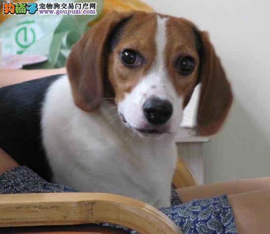 出售郑州比格犬专业缔造完美品质当日付款包邮