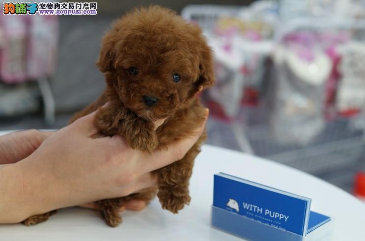 血统纯正 均有三证 亲临犬场可得好礼相送贵宾犬