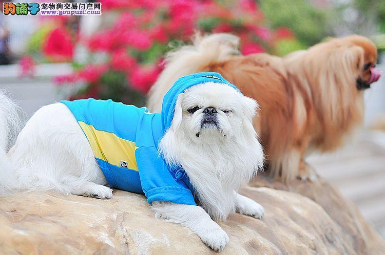 上海出售纯种漂亮的宫廷京巴犬 健康质保 签订购犬合同