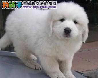 成都大型养狗场 专业繁殖纯种大白熊转让大白熊幼犬