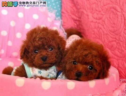 甜美可人的茶杯泰迪幼犬 父母肩高16.5 上门可见父母