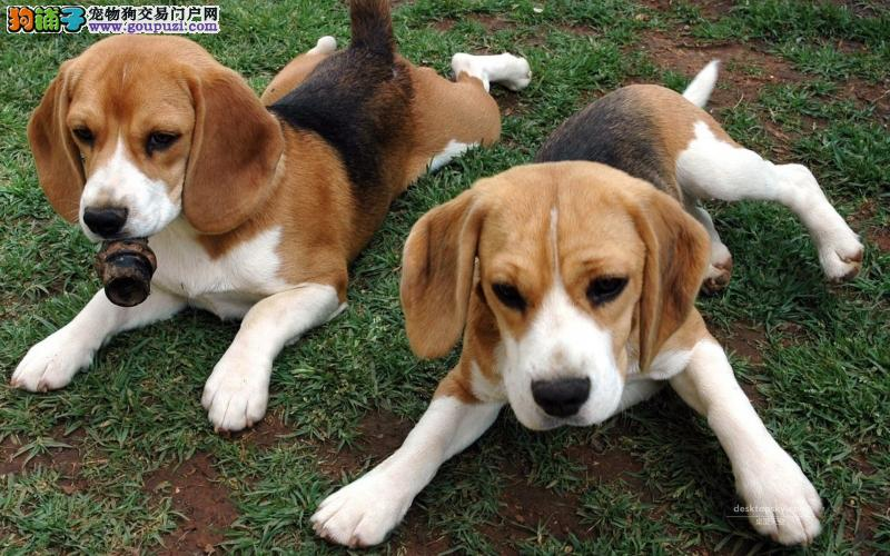 纯种健康比格幼犬出售,3个月有健康问题包退换公母有