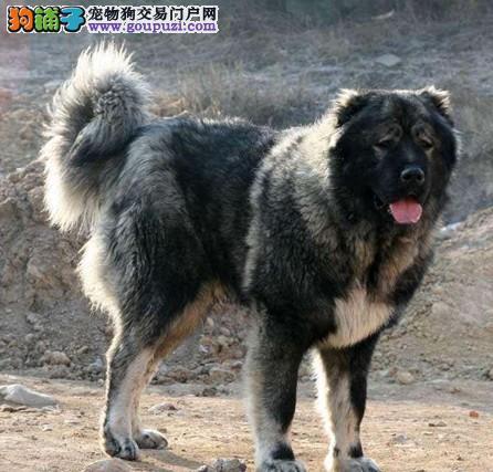 遗传因素对高加索犬的优劣程度的影响