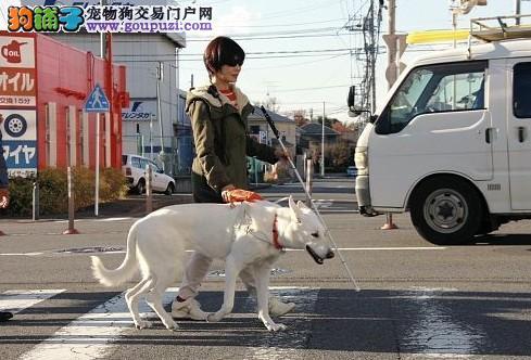 纯白色狼狗受重用 在日本担任导盲犬职责