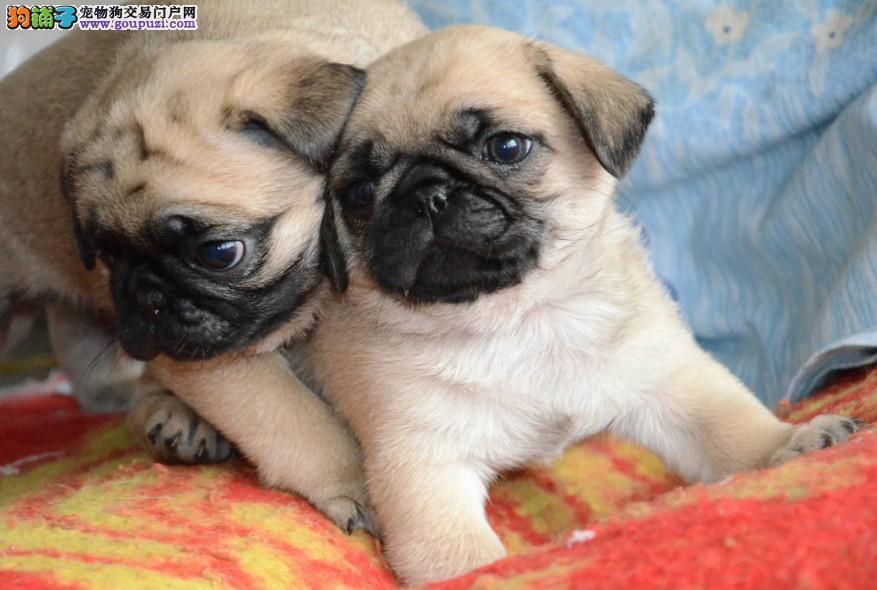 成都纯种褶皮脸铁包金巴哥犬宝宝出售虎头虎脑可爱健康