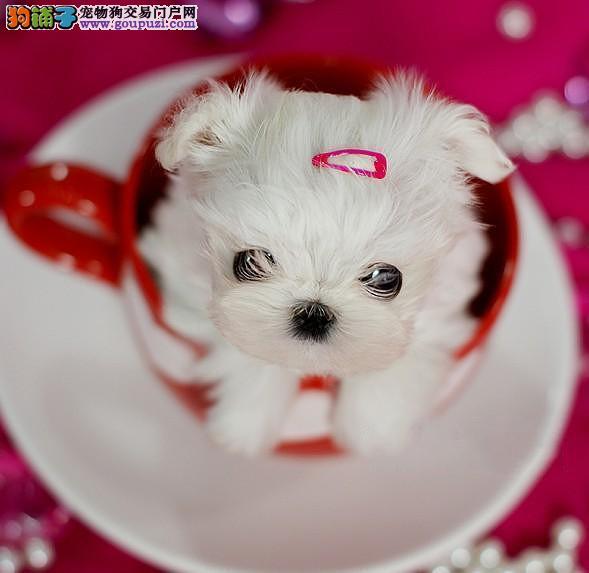 广州茶杯泰迪熊犬价格 广州哪家狗场买茶杯犬好3