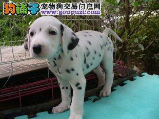 斑点狗斑点一窝 杭州那里卖狗那里卖纯种健康狗