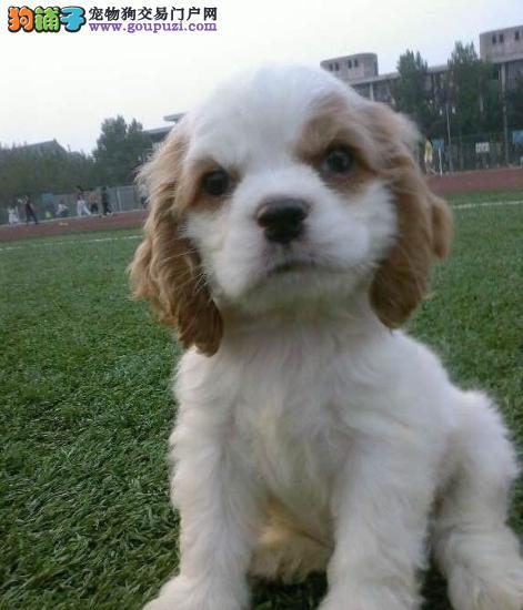 繁殖基地出售赛级品相可卡幼犬,保健康包纯种