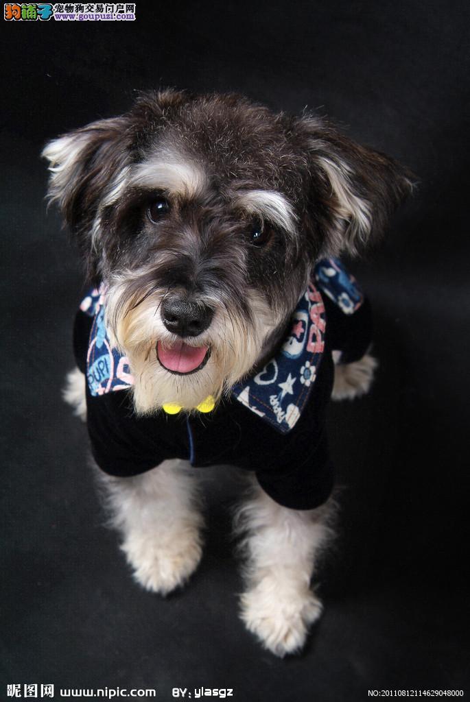 儋州市可爱开朗雪纳瑞犬找新家 黑色小雪椒盐色老头犬