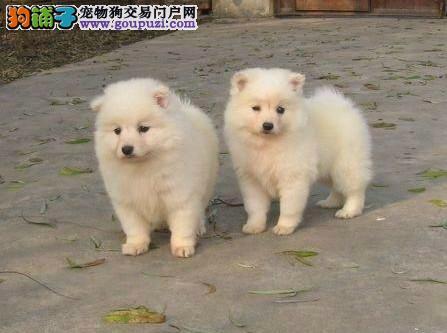 济宁市出售银狐犬幼犬 质保三年 诚信经营 可上门挑选