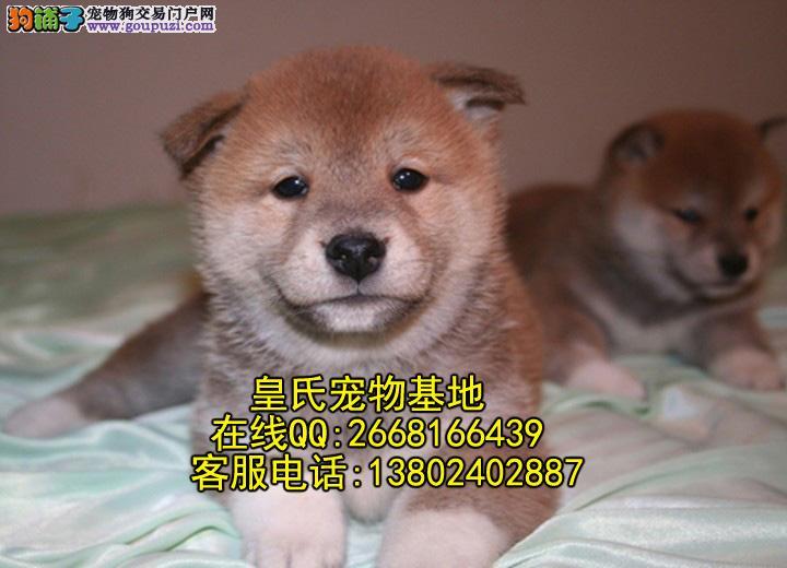 皇氏宠物基地出售纯种柴犬 萌而可爱 可上门挑选