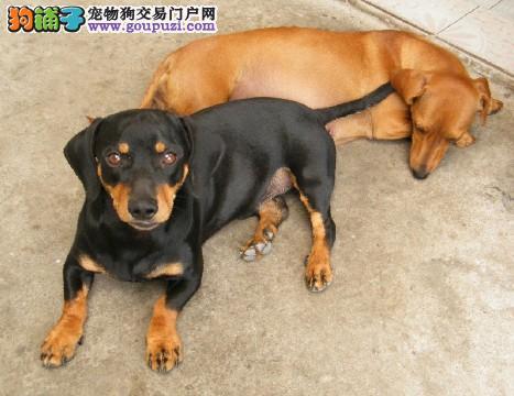 家养赛级腊肠犬宝宝品质纯正签订三包合同