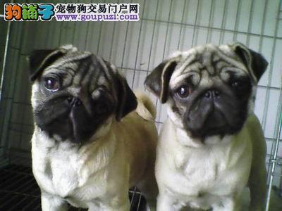 百分百健康纯种巴哥犬北京热卖中全国质保全国送货